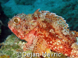 Small red scorpionfish = Scorpaena notata.